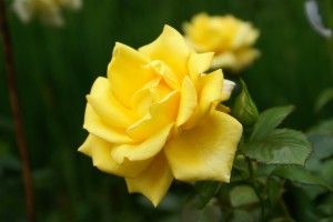 A yellow rose for friendship